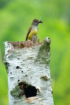 A great crested flycatcher preparing to feed an insect to its young in the cavity below