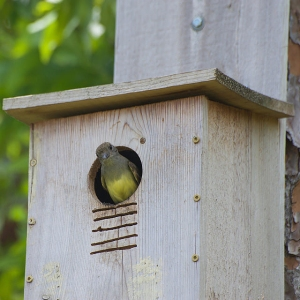 A great crested flycatcher using a nest box