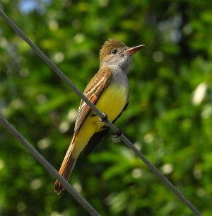 A great crested flycatcher in Florida