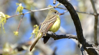 A great crested flycatcher in Missouri