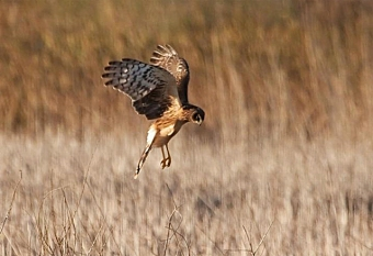 A northern harrier hovering over potential prey (Photo by Don on Wikimedia, Creative Commons license)