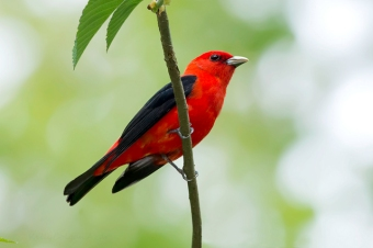 A scarlet tanager in Chester County, PA, on May 14, 2014 (Photo by Kelly Colgan Azar, on Flickr, Creative Commons license)