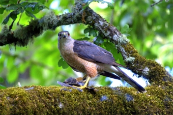 A sharp-shinned hawk with prey under foot (Photo by Abdoozy on Wikimedia, Creative Commons license)