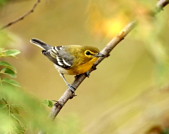 A yellow-throated vireo