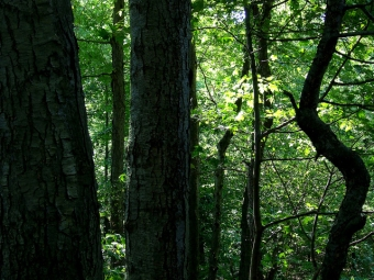 Black birches in the forest of Plummer's Hollow