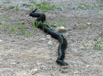 A black rat snake