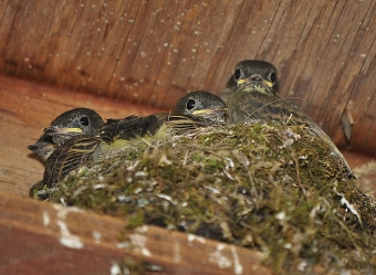 Four eastern phoebe chicks in their nest