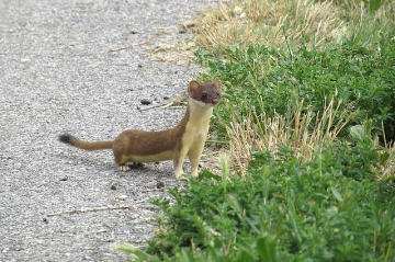 A long-tailed weasel