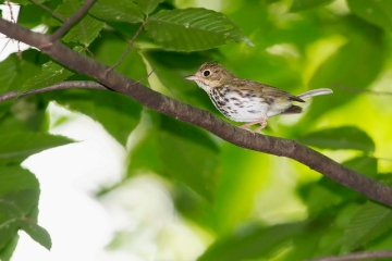 An ovenbird in Chester County, PA