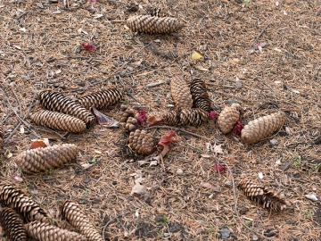 Norway spruce cones, including one in the lower right on which part of the cone scales have been removed