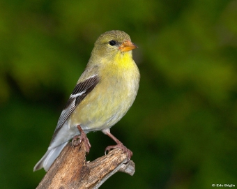 A female American goldfinch