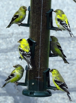 A crowd of American goldfinches on a Nyjer thistle feeder in Danville, PA