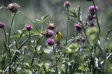 A male American goldfinch among thistles at the John Heinz National Wildlife Refuge at Tinicum, PA