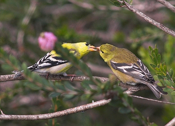 A male American goldfinch feeding a female on May 4, 2007