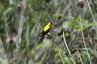 A male American goldfinch at the John Heinz National Wildlife Refuge at Tinicum, PA