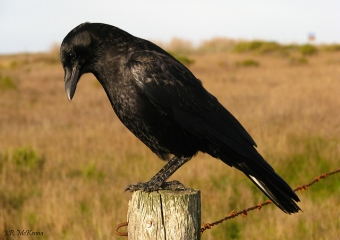 An American crow on a fence post
