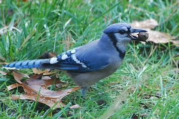 A blue jay with an acorn