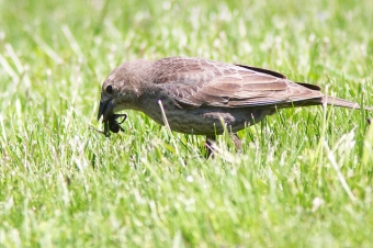 A brown-headed cowbird female in Codorus State Park