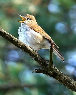 A hermit thrush singing
