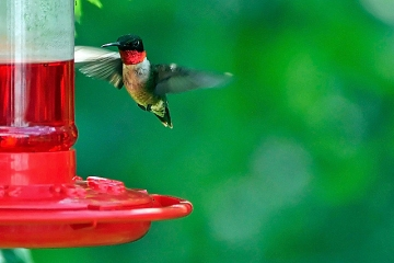 A ruby-throated hummingbird at a feeder
