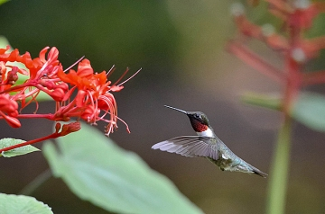 A ruby-throated hummingbird at a flower