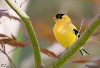 An American goldfinch in Chester County, PA