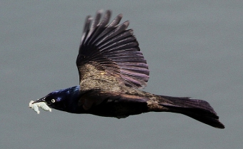 A common grackle carrying a caterpillar for its nestlings