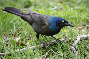 A male common grackle