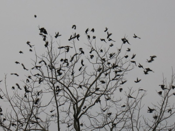 A flock of common grackles on a communal winter roost