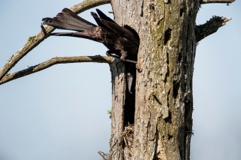 A male common grackle feeding its nestlings