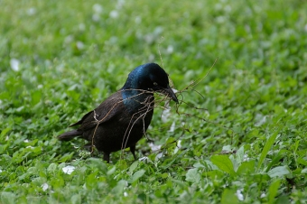 A male common grackle gathering nesting material