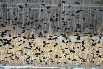 A mixed flock of red-winged blackbirds and common grackles