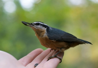 A close encounter with a red-breasted nuthatch
