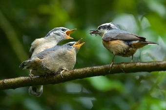 An adult red-breasted nuthatch feeding its fledglings