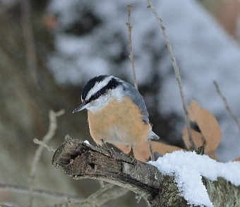 In Mercer County, PA, a red-breasted nuthatch in a November snow