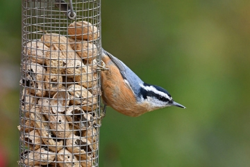 A red-breasted nuthatch on a feeder in Montgomery County, PA
