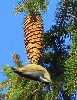A red-breasted nuthatch on a Norway spruce in Pennsylvania