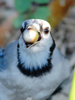 Blue jay close-up with an acorn