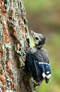 A juvenile blue jay