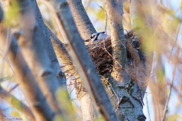 A blue jay on a nest in Codorus State Park, Hanover, PA