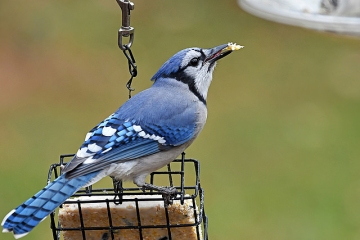 A blue jay on a feeder in Montgomery County, PA