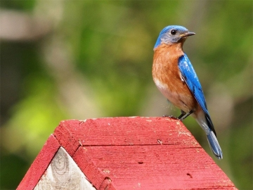 An eastern bluebird on a birdhouse in North Carolina