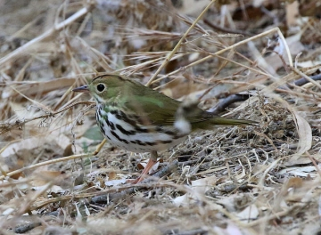 An ovenbird on the ground