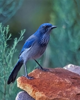 A western scrub jay found in Santa Fe, New Mexico; as of 2016, known as a Woodhouse's scrub jay
