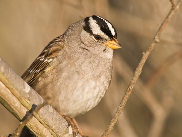 A white-crowned sparrow in California