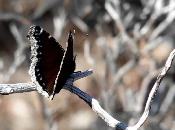 A mourning cloak in Plummer's Hollow