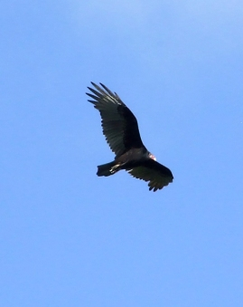 A turkey vulture flying over Plummer's Hollow