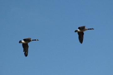 Two Canada geese flying overhead