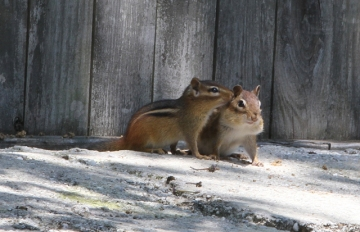 Two chipmunks in Pennsylvania