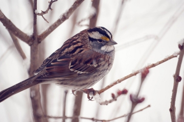 A white-throated sparrow photographed during a Great Backyard Bird Count